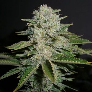 Buy Sour Diesel Flower Strain